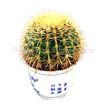 "Golden Ball Cactus (Echincactus Gruson) (""Золотого мяча"" C tus (Echinc tus Gruson))"