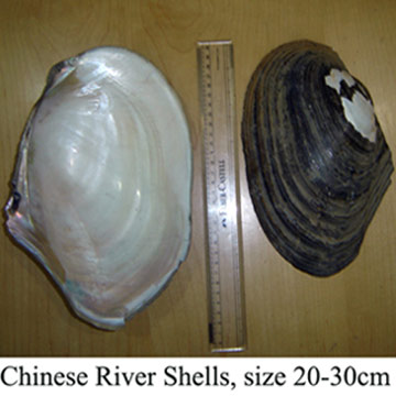 Chinese River Shells Of Raw Materials