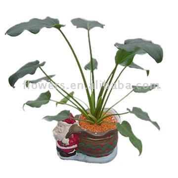 Philodendron (Xanadu) (Филодендрон (Xanadu))