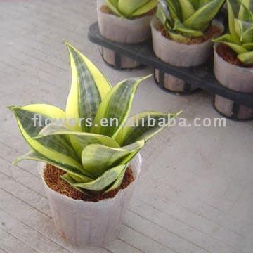 Sansevieria Thifasciata Var. Laurentic (Lotus) (Sansevieria Thifasciata Var. Laurentic (Lotus))