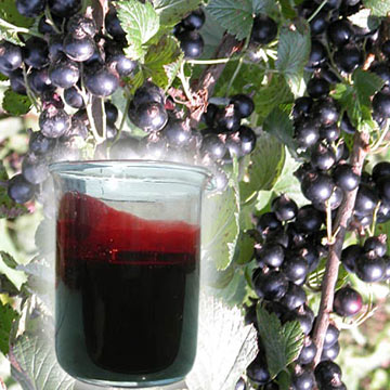 Black Currant Concentrate Juice (Concentré de jus de cassis)