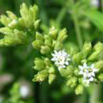 Natrual Herb Extracts (Natrual травяных экстрактов)