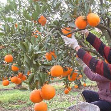 Navel Oranges (Пуп Апельсины)