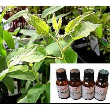 Eucalyptus Oil (Эвкалиптового масла)