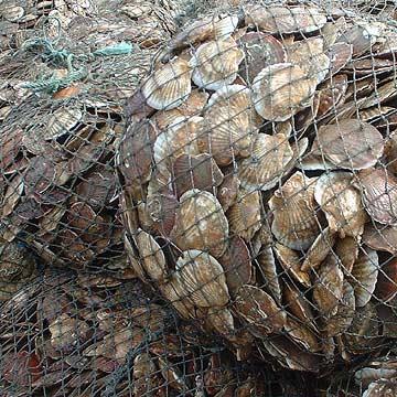 Materials Of Scallops (Материалы Гребешки)