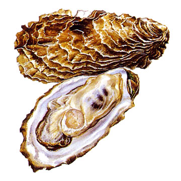 Frozen Half Shell Oysters