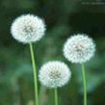 Dandelion Extract (Dandelion Extr t)