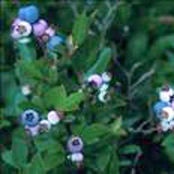 Bilberry Extract (Экстракт черники)