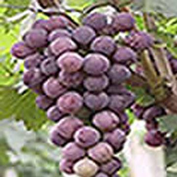 Grape Seed Extract (Экстракта виноградных косточек)