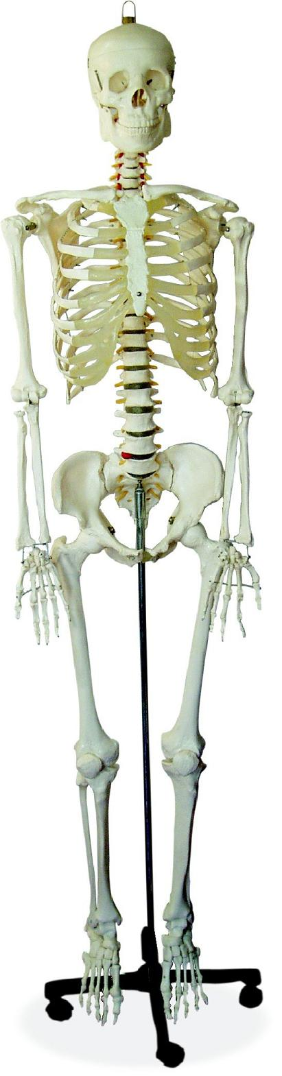 85cm Skeleton with Spinal Nerves