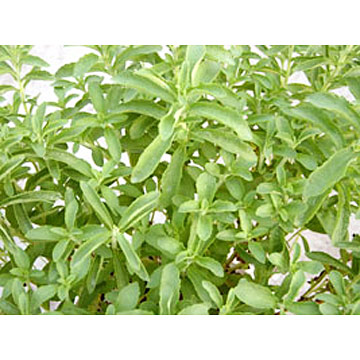 Glucosyl Stevioside, Enzymatically Modified Stevia