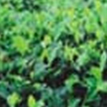 Green Tea P.E. (Зеленый чай P.E.)