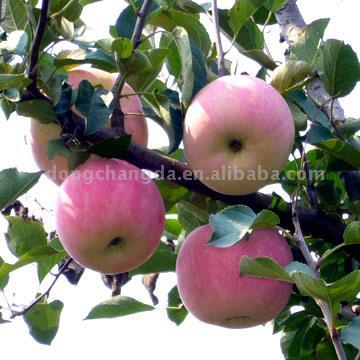 Fuji Apple (Fuji Apple)