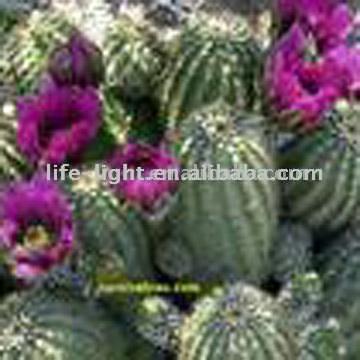 Cacti Capsule