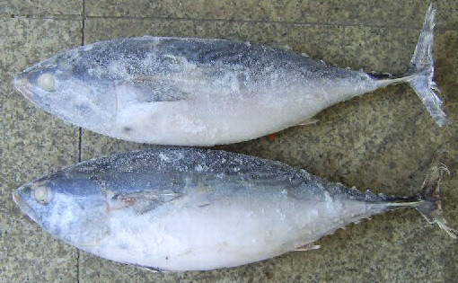 Frozen Bonito Tuna (Frozen Bonito тунца)