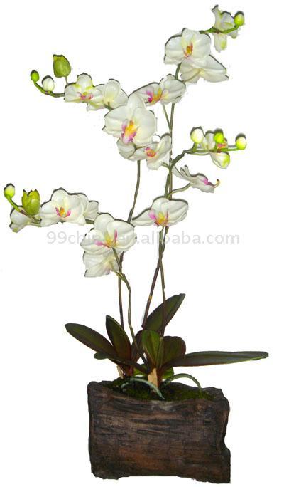Phalaenopsis Orchid (Phalaenopsis Orchid)