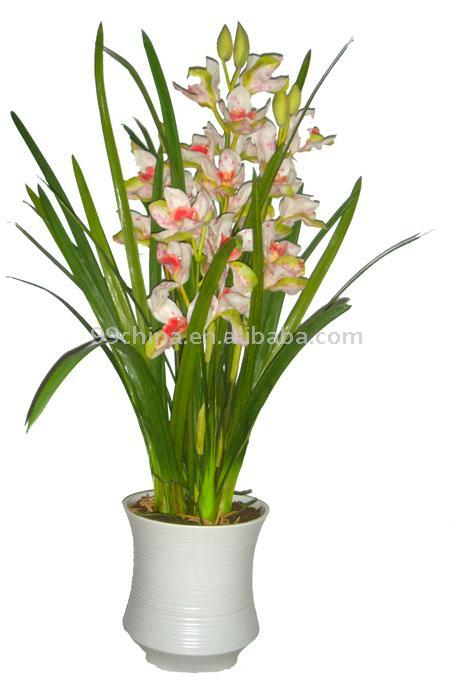 Cymbidium Orchid (Cymbidium Орхидея)