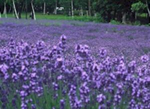 Lavender Oil (Лавандовое масло)