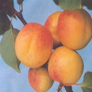 Apricot Puree (Сок абрикоса)