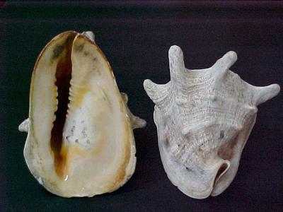 Cornata Shell Buttons (Cornata Shell Кнопки)