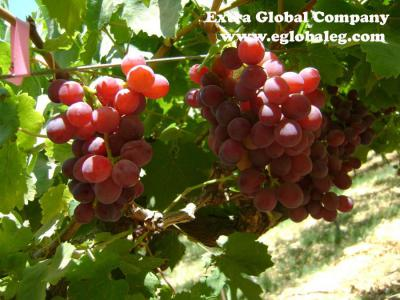 Flame Seedless Grapes ()