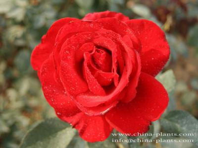 where to find roses for sale online? ()